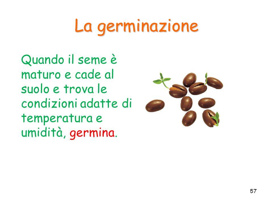 Quando il seme è maturo e cade al suolo e trova le condizioni adatte di temperatura e umidità, germina. La germinazione 57