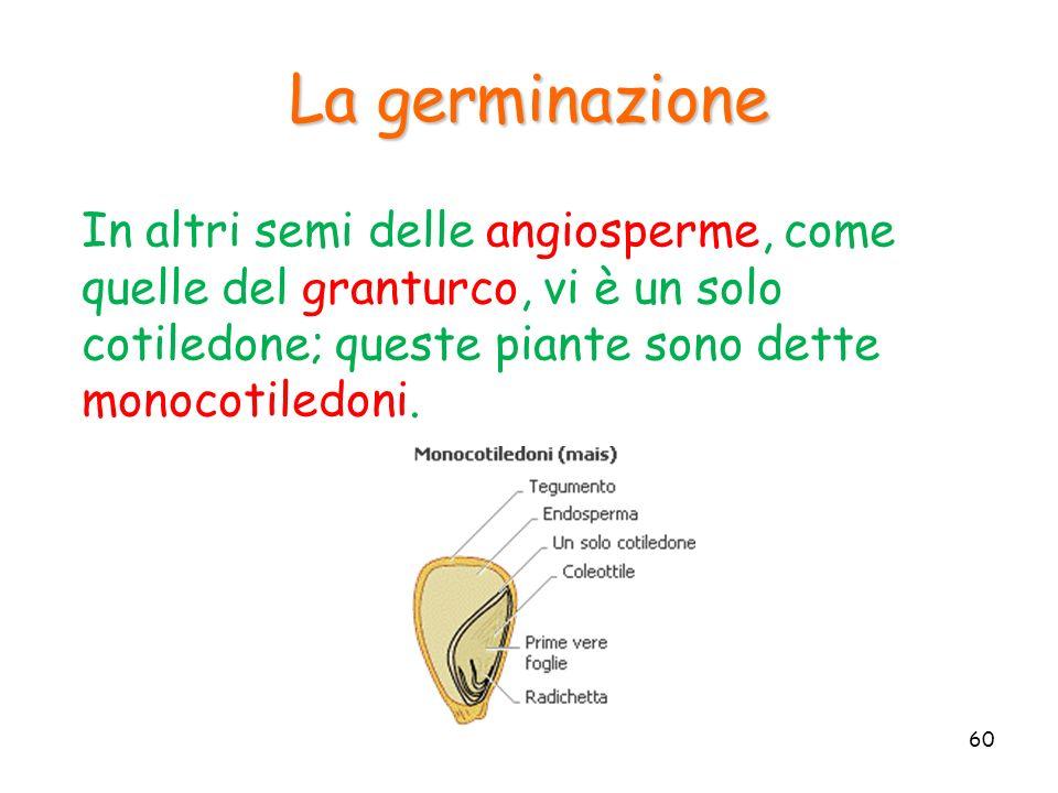 In altri semi delle angiosperme, come quelle del granturco, vi è un solo cotiledone; queste piante sono dette monocotiledoni. La germinazione 60