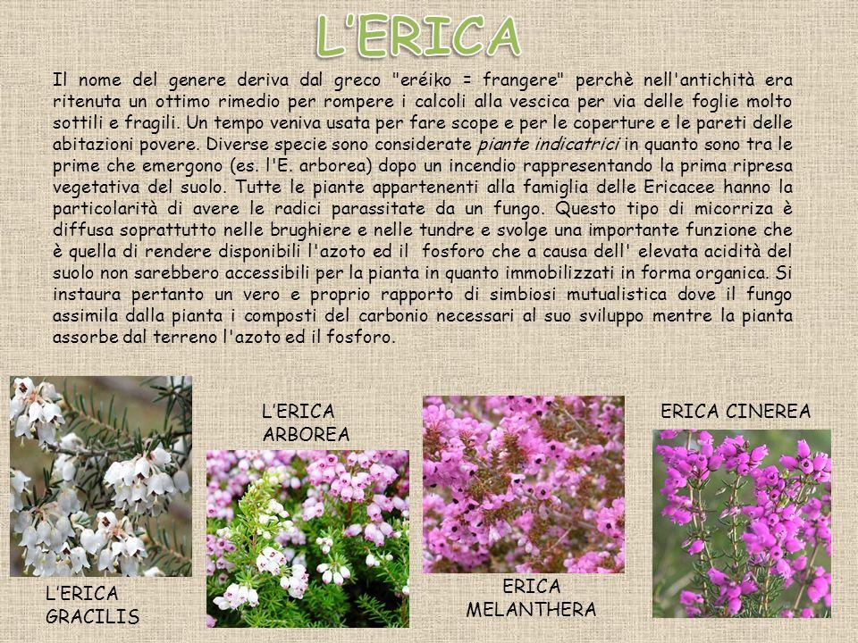 LERICA ARBOREA LERICA GRACILIS ERICA MELANTHERA Il nome del genere deriva dal greco