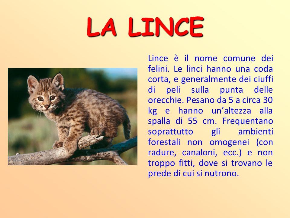 LA LINCE Lince è il nome comune dei felini. Le linci hanno una coda corta, e generalmente dei ciuffi di peli sulla punta delle orecchie. Pesano da 5 a