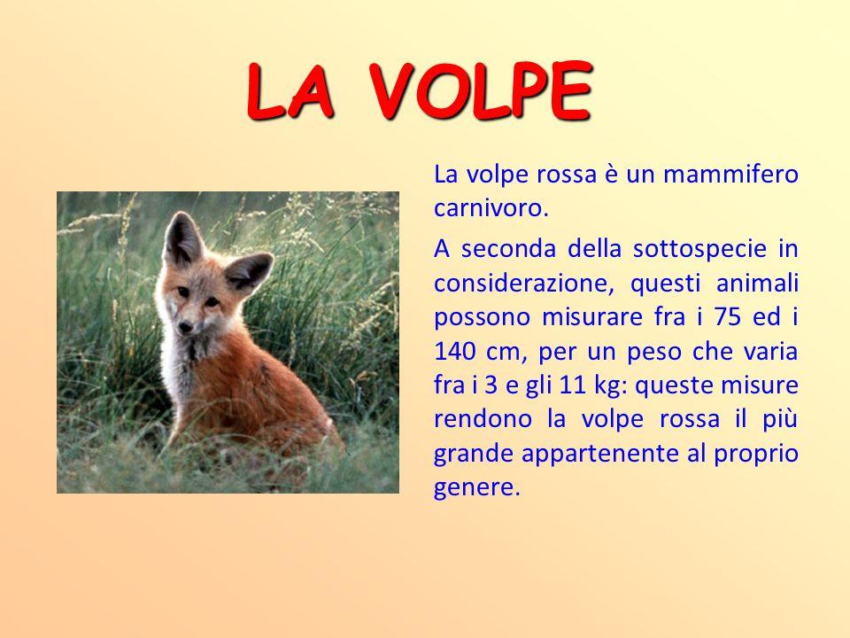 LA VOLPE La volpe rossa è un mammifero carnivoro. A seconda della sottospecie in considerazione, questi animali possono misurare fra i 75 ed i 140 cm,