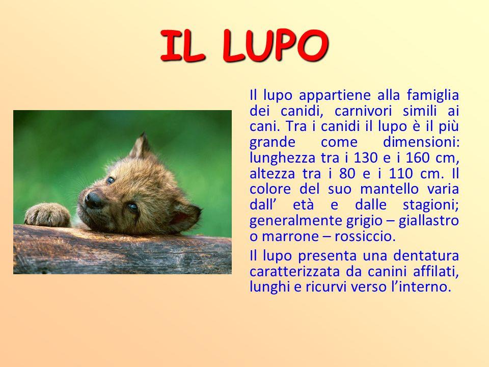 IL LUPO Il lupo appartiene alla famiglia dei canidi, carnivori simili ai cani. Tra i canidi il lupo è il più grande come dimensioni: lunghezza tra i 1