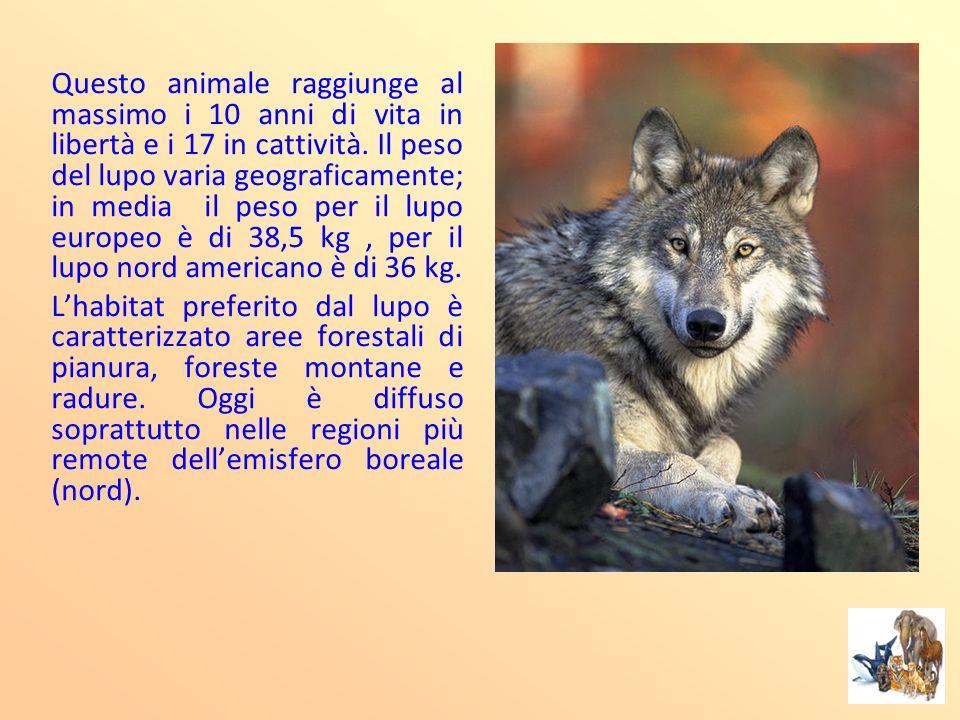 Questo animale raggiunge al massimo i 10 anni di vita in libertà e i 17 in cattività. Il peso del lupo varia geograficamente; in media il peso per il
