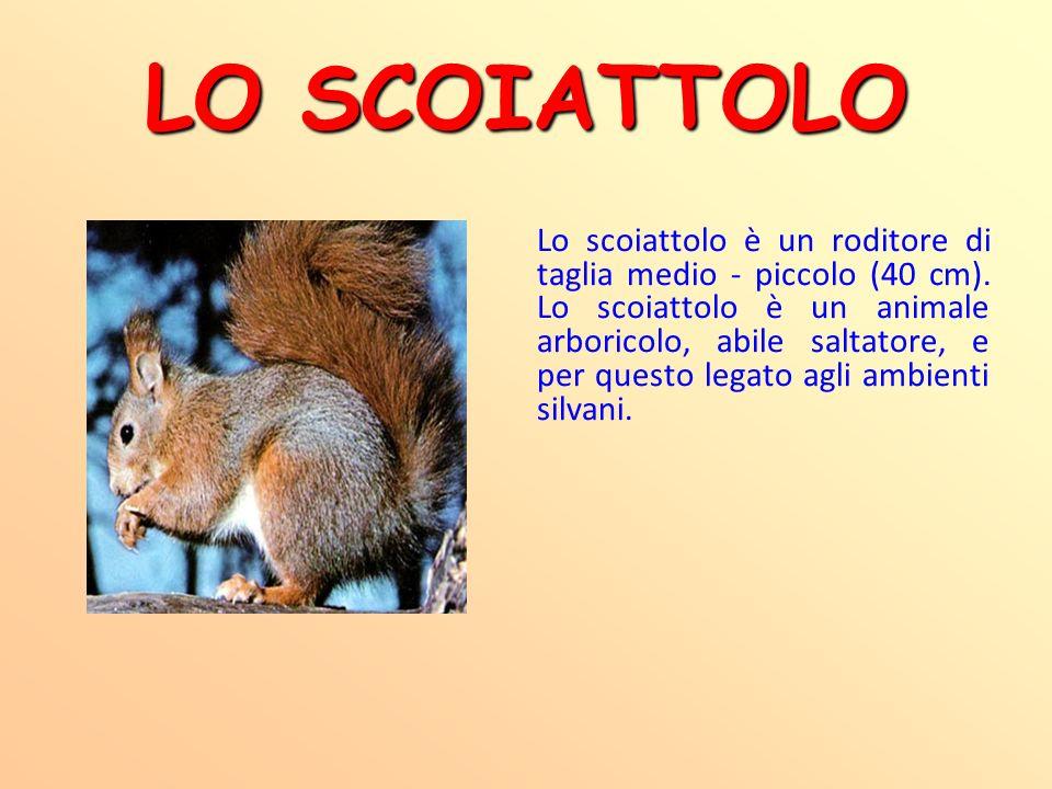 LO SCOIATTOLO Lo scoiattolo è un roditore di taglia medio - piccolo (40 cm). Lo scoiattolo è un animale arboricolo, abile saltatore, e per questo lega