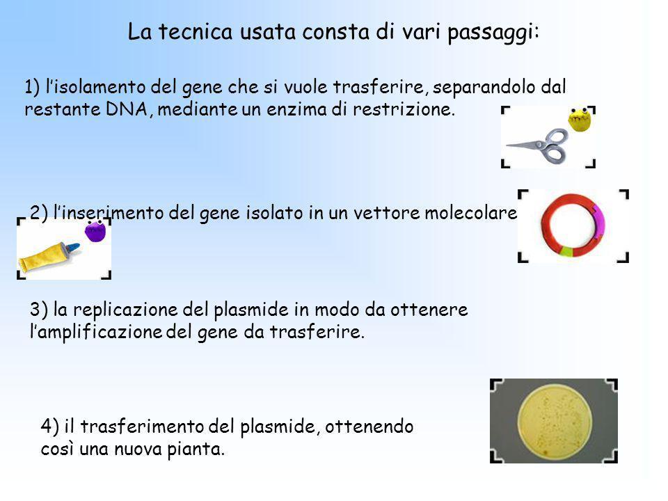 La tecnica usata consta di vari passaggi: 4) il trasferimento del plasmide, ottenendo così una nuova pianta. 1) lisolamento del gene che si vuole tras