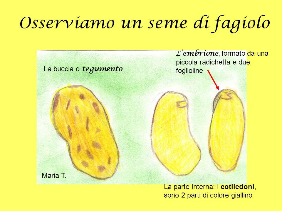 Osserviamo un seme di fagiolo La buccia o tegumento Lembrione, formato da una piccola radichetta e due foglioline La parte interna: i cotiledoni, sono