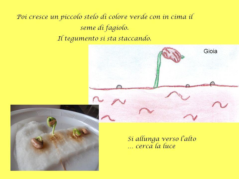 Poi cresce un piccolo stelo di colore verde con in cima il seme di fagiolo. Il tegumento si sta staccando. Gioia Si allunga verso lalto … cerca la luc
