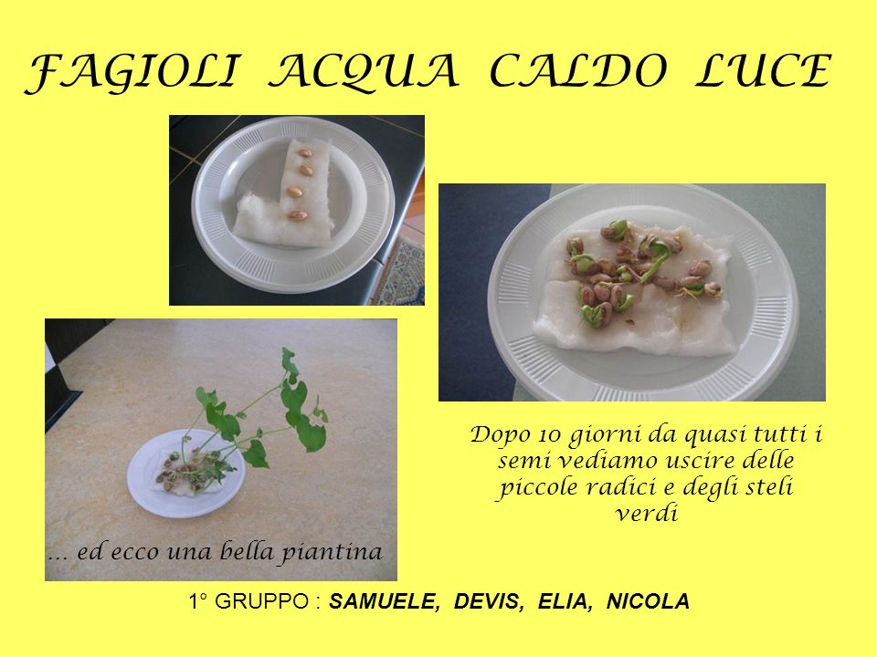 FAGIOLI ACQUA CALDO BUIO 2° GRUPPO: FRANCESCA, GIOIA, SAMYA Dopo 10 giorni sono cresciuti dei lunghi steli di colore bianco.