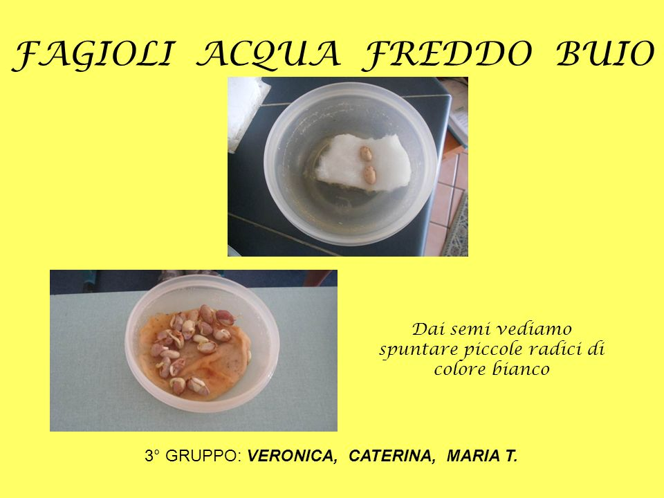 FAGIOLI ACQUA FREDDO BUIO 3° GRUPPO: VERONICA, CATERINA, MARIA T. Dai semi vediamo spuntare piccole radici di colore bianco