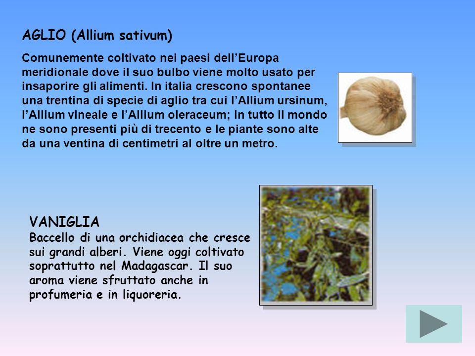 AGLIO (Allium sativum) Comunemente coltivato nei paesi dellEuropa meridionale dove il suo bulbo viene molto usato per insaporire gli alimenti. In ital