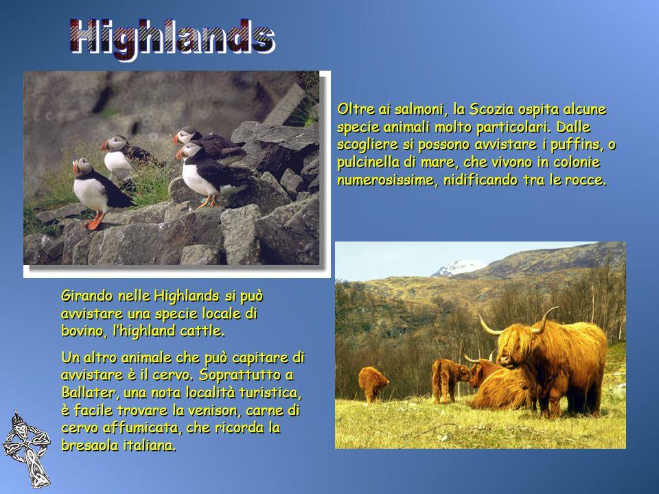 Oltre ai salmoni, la Scozia ospita alcune specie animali molto particolari. Dalle scogliere si possono avvistare i puffins, o pulcinella di mare, che