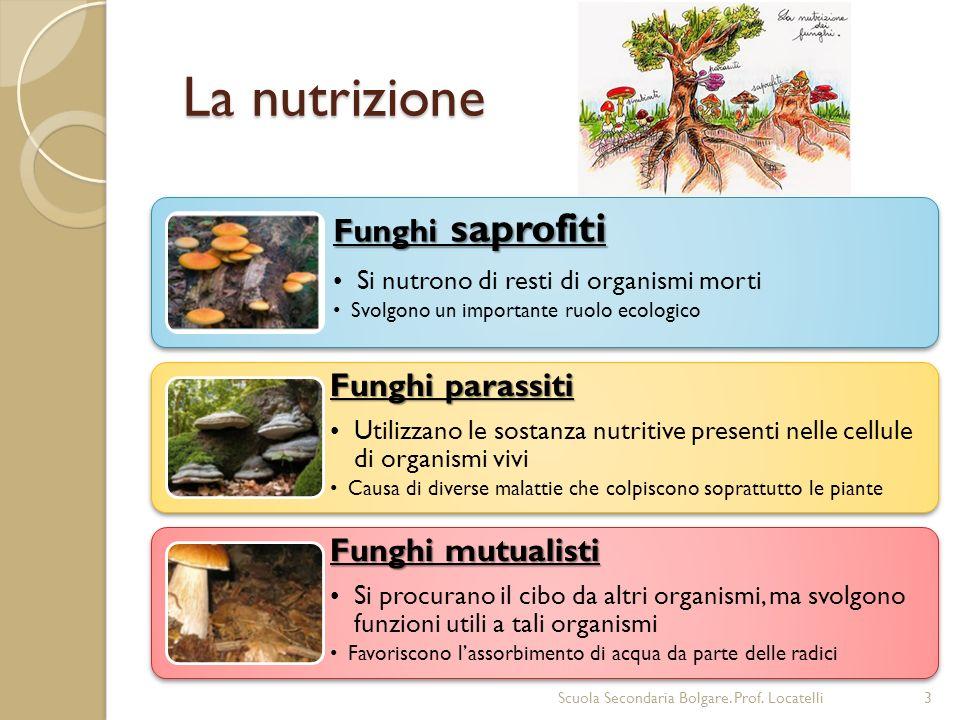 La nutrizione Scuola Secondaria Bolgare. Prof. Locatelli3 Funghi saprofiti Si nutrono di resti di organismi morti Svolgono un importante ruolo ecologi