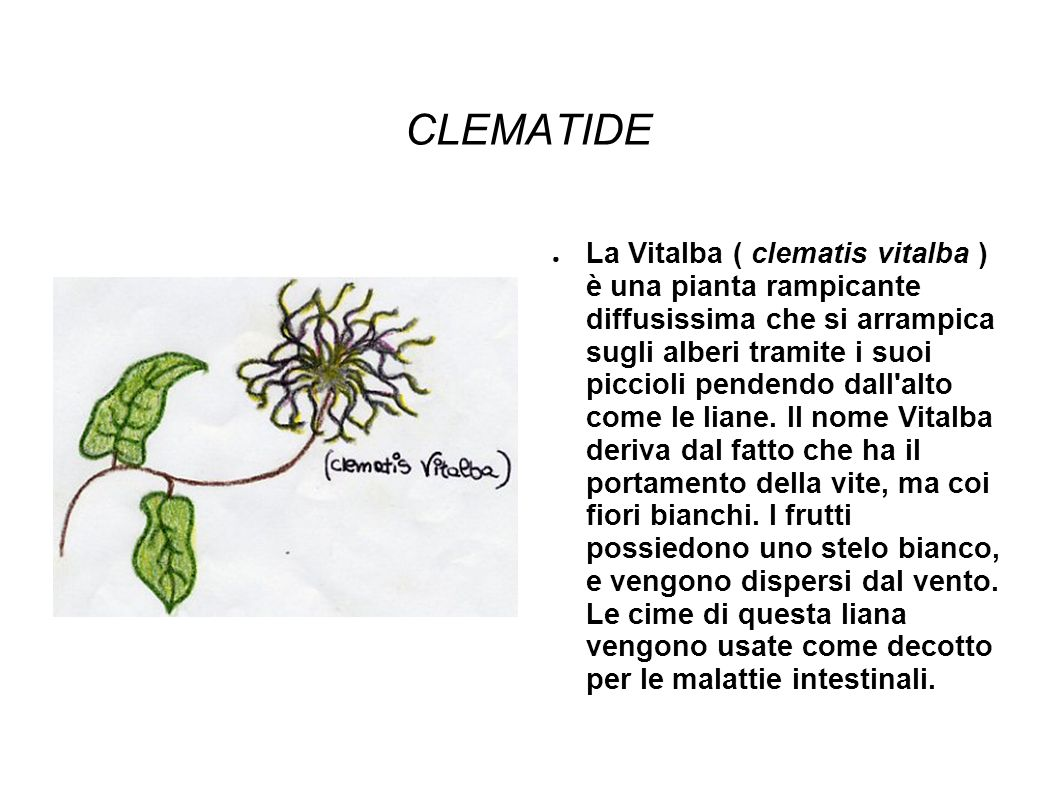 CLEMATIDE La Vitalba ( clematis vitalba ) è una pianta rampicante diffusissima che si arrampica sugli alberi tramite i suoi piccioli pendendo dall alto come le liane.
