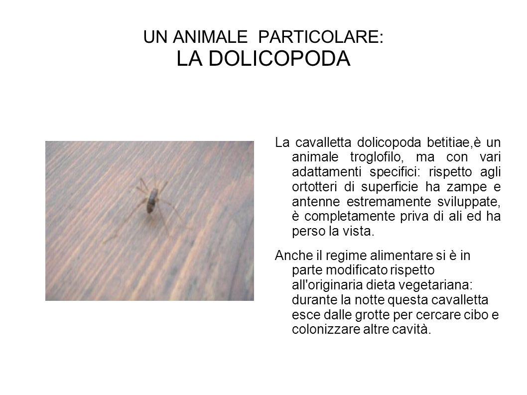 UN ANIMALE PARTICOLARE: LA DOLICOPODA La cavalletta dolicopoda betitiae,è un animale troglofilo, ma con vari adattamenti specifici: rispetto agli ortotteri di superficie ha zampe e antenne estremamente sviluppate, è completamente priva di ali ed ha perso la vista.