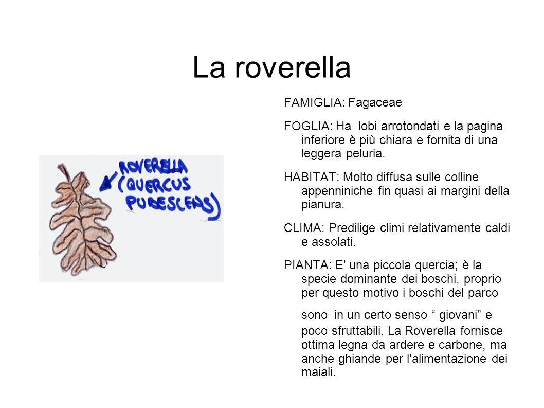 La roverella FAMIGLIA: Fagaceae FOGLIA: Ha lobi arrotondati e la pagina inferiore è più chiara e fornita di una leggera peluria. HABITAT: Molto diffus