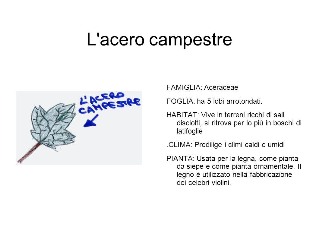 L'acero campestre FAMIGLIA: Aceraceae FOGLIA: ha 5 lobi arrotondati. HABITAT: Vive in terreni ricchi di sali disciolti, si ritrova per lo più in bosch