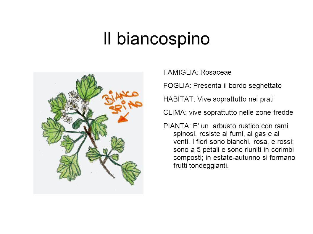 Il biancospino FAMIGLIA: Rosaceae FOGLIA: Presenta il bordo seghettato HABITAT: Vive soprattutto nei prati CLIMA: vive soprattutto nelle zone fredde P