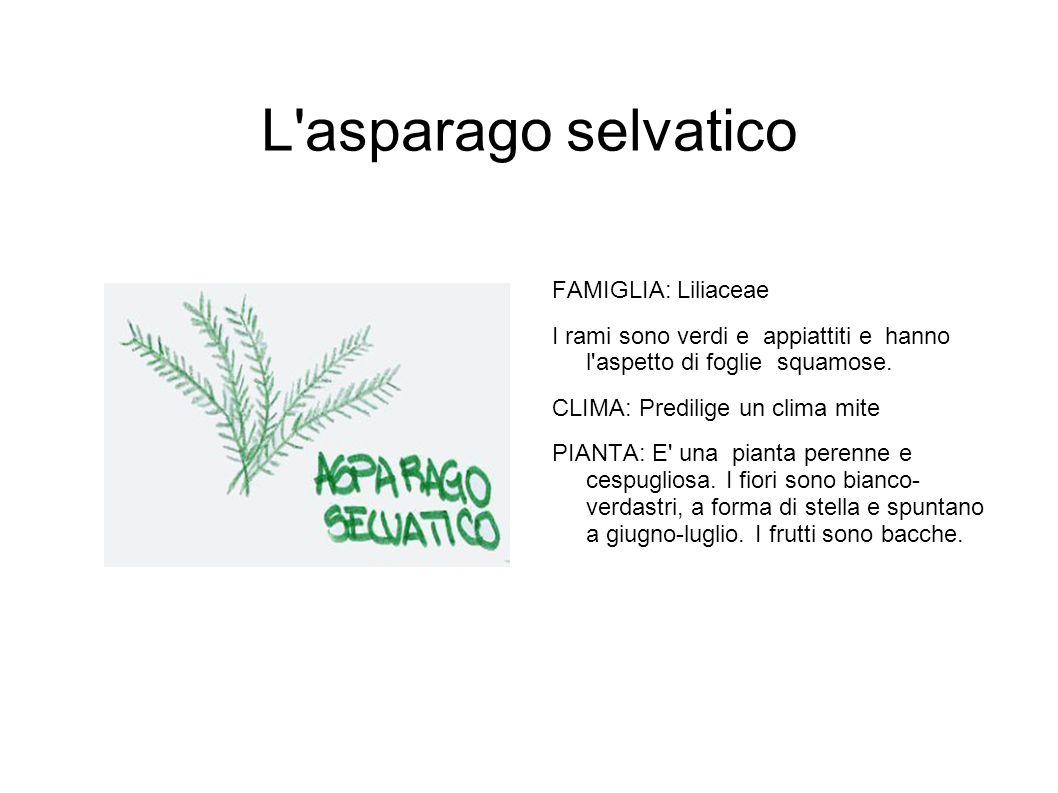 L'asparago selvatico FAMIGLIA: Liliaceae I rami sono verdi e appiattiti e hanno l'aspetto di foglie squamose. CLIMA: Predilige un clima mite PIANTA: E