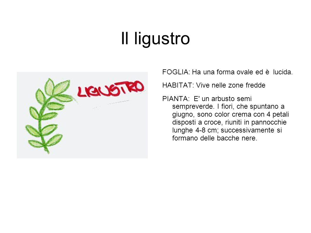 Il ligustro FOGLIA: Ha una forma ovale ed è lucida. HABITAT: Vive nelle zone fredde PIANTA: E' un arbusto semi sempreverde. I fiori, che spuntano a gi