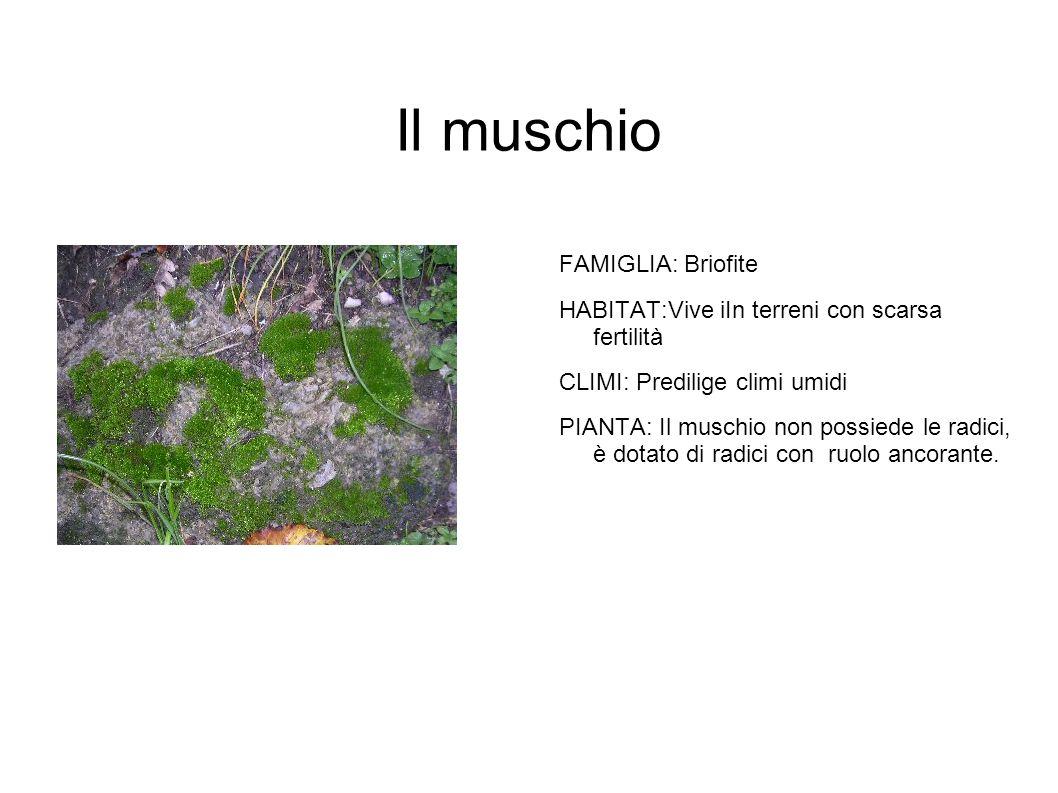 Il muschio FAMIGLIA: Briofite HABITAT:Vive iIn terreni con scarsa fertilità CLIMI: Predilige climi umidi PIANTA: Il muschio non possiede le radici, è dotato di radici con ruolo ancorante.