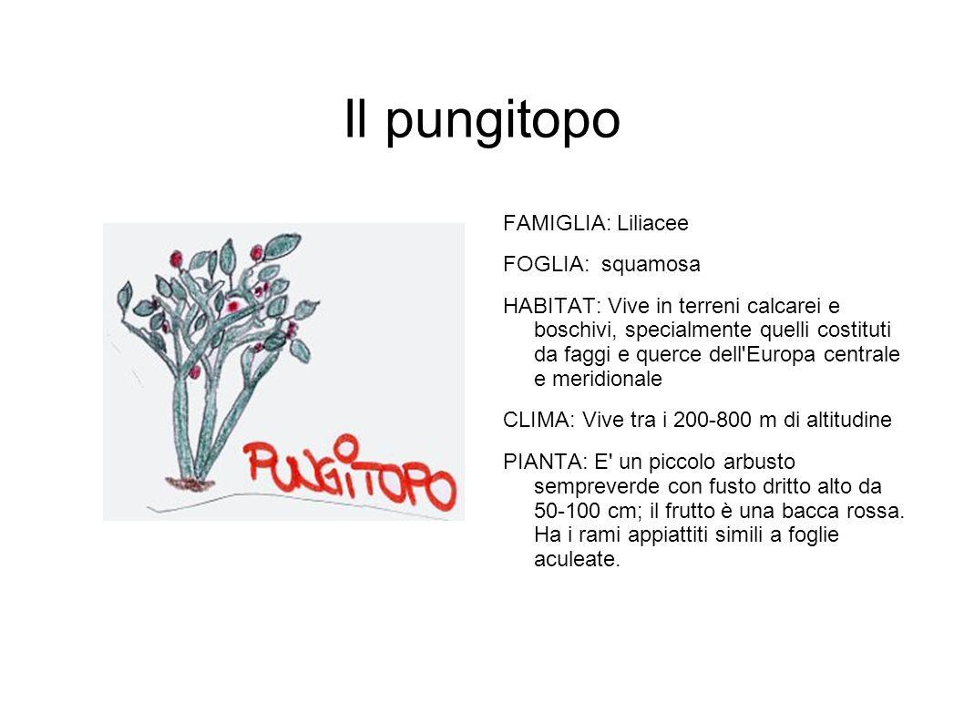 Il pungitopo FAMIGLIA: Liliacee FOGLIA: squamosa HABITAT: Vive in terreni calcarei e boschivi, specialmente quelli costituti da faggi e querce dell'Eu