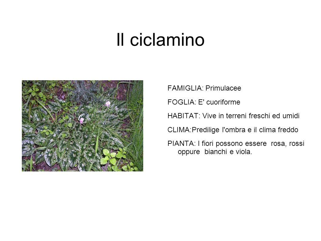 Il ciclamino FAMIGLIA: Primulacee FOGLIA: E cuoriforme HABITAT: Vive in terreni freschi ed umidi CLIMA:Predilige l ombra e il clima freddo PIANTA: I fiori possono essere rosa, rossi oppure bianchi e viola.