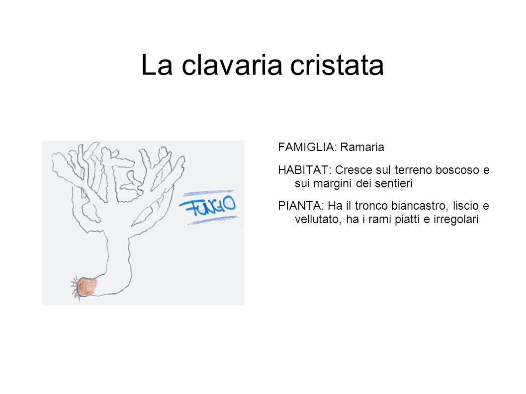 La clavaria cristata FAMIGLIA: Ramaria HABITAT: Cresce sul terreno boscoso e sui margini dei sentieri PIANTA: Ha il tronco biancastro, liscio e vellutato, ha i rami piatti e irregolari
