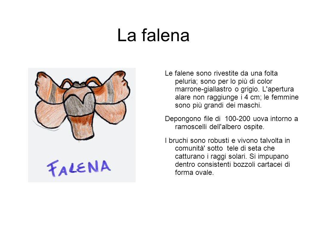 La falena Le falene sono rivestite da una folta peluria; sono per lo più di color marrone-giallastro o grigio. L'apertura alare non raggiunge i 4 cm;