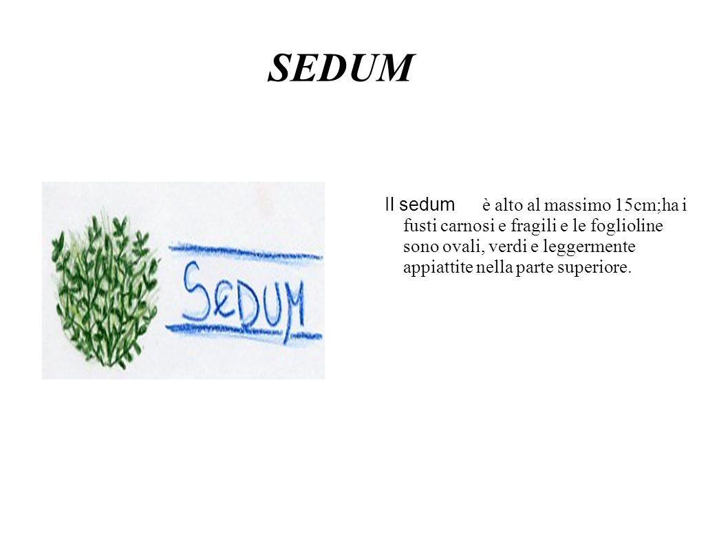 SEDUM Il sedum è alto al massimo 15cm;ha i fusti carnosi e fragili e le foglioline sono ovali, verdi e leggermente appiattite nella parte superiore.