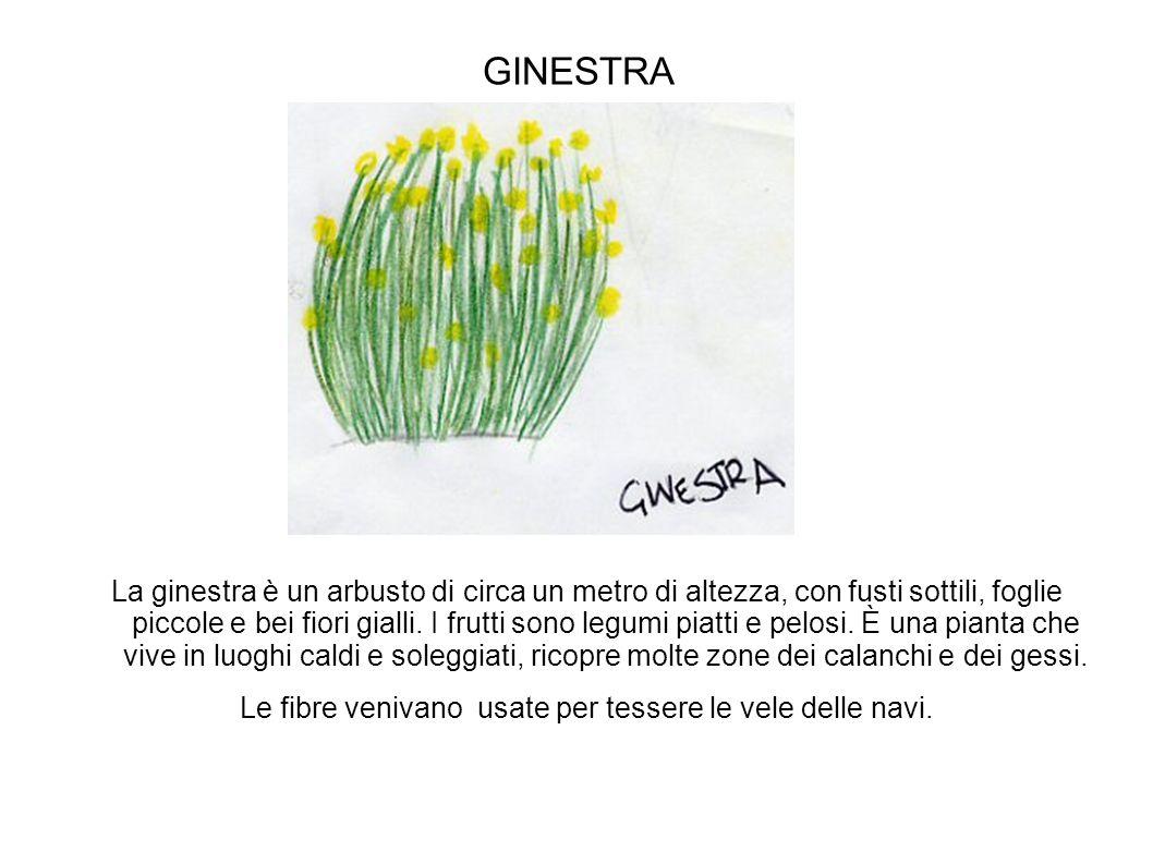 GINESTRA La ginestra è un arbusto di circa un metro di altezza, con fusti sottili, foglie piccole e bei fiori gialli. I frutti sono legumi piatti e pe