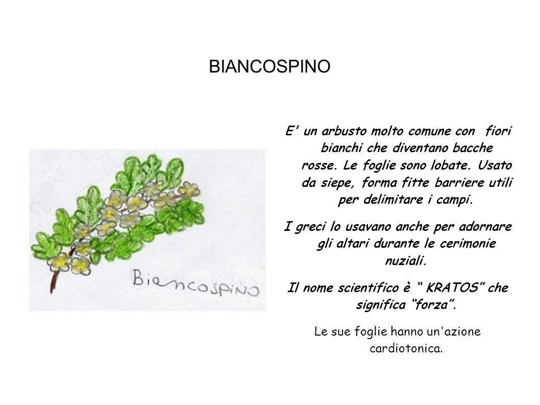 BIANCOSPINO E' un arbusto molto comune con fiori bianchi che diventano bacche rosse. Le foglie sono lobate. Usato da siepe, forma fitte barriere utili