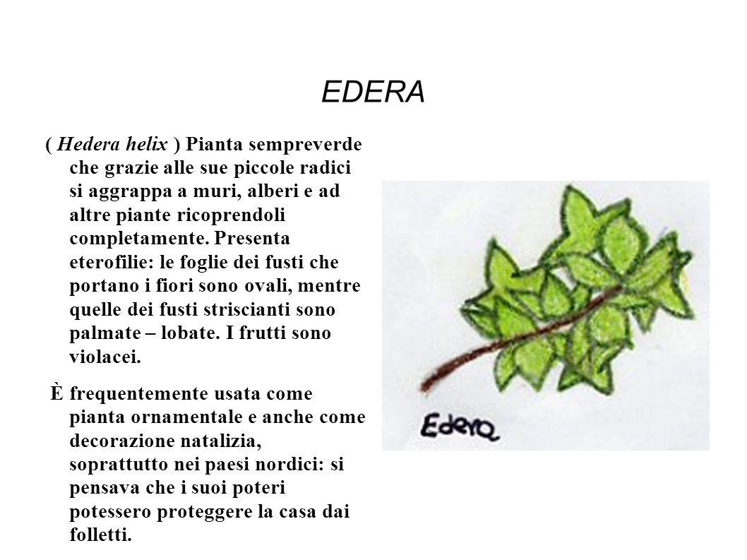 EDERA ( Hedera helix ) Pianta sempreverde che grazie alle sue piccole radici si aggrappa a muri, alberi e ad altre piante ricoprendoli completamente.
