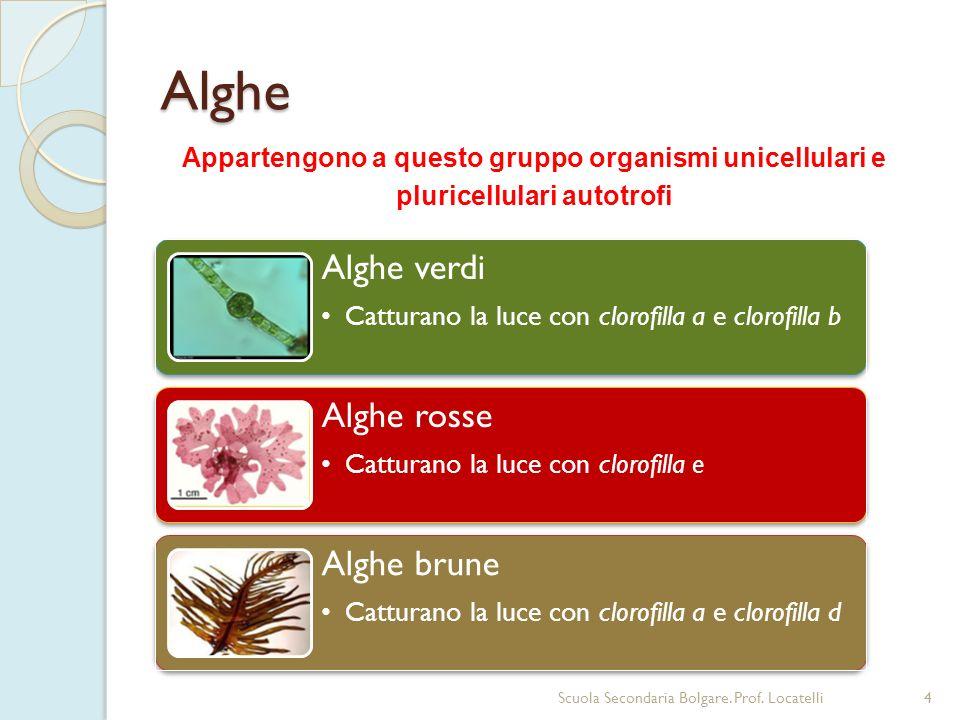 Alghe 4Scuola Secondaria Bolgare. Prof. Locatelli Appartengono a questo gruppo organismi unicellulari e pluricellulari autotrofi Alghe verdi Catturano