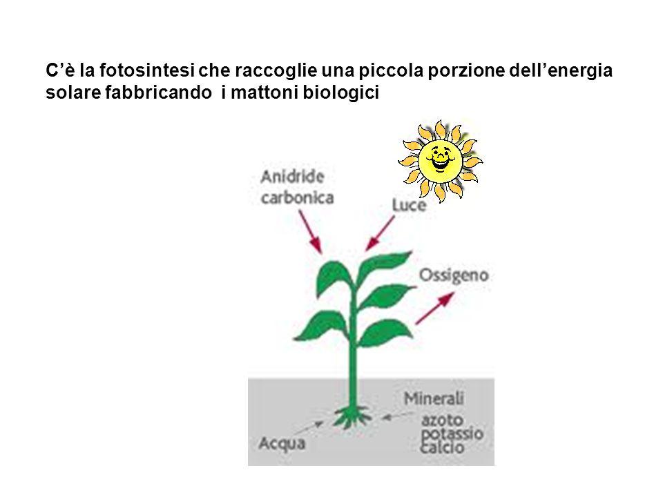 Cè la fotosintesi che raccoglie una piccola porzione dellenergia solare fabbricando i mattoni biologici