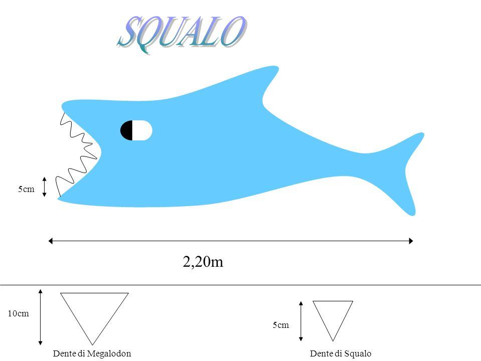 2,20m 5cm 10cm Dente di Megalodon 5cm Dente di Squalo