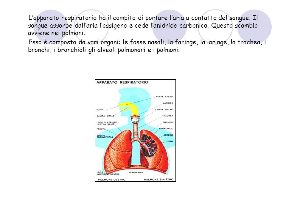 Lapparato respiratorio ha il compito di portare laria a contatto del sangue. Il sangue assorbe dallaria lossigeno e cede lanidride carbonica. Questo s