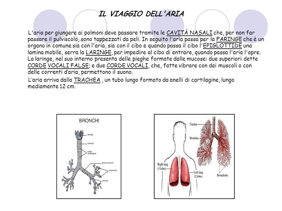 IL VIAGGIO DELL'ARIA L'aria per giungere ai polmoni deve passare tramite le CAVITÀ NASALI che, per non far passare il pulviscolo, sono tappezzati da p