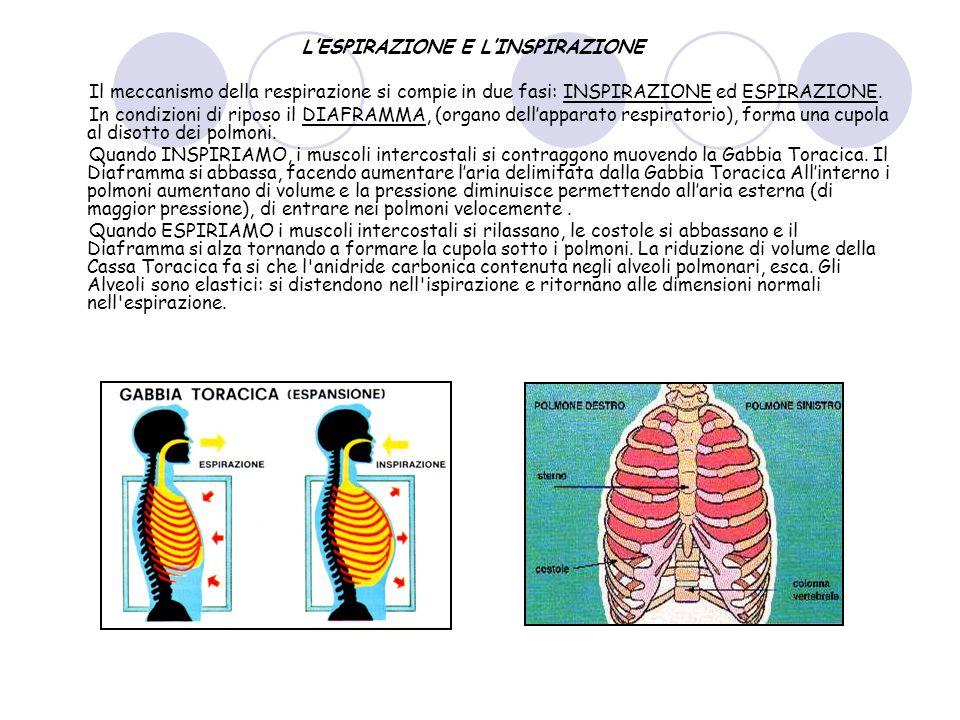 LESPIRAZIONE E LINSPIRAZIONE Il meccanismo della respirazione si compie in due fasi: INSPIRAZIONE ed ESPIRAZIONE. In condizioni di riposo il DIAFRAMMA