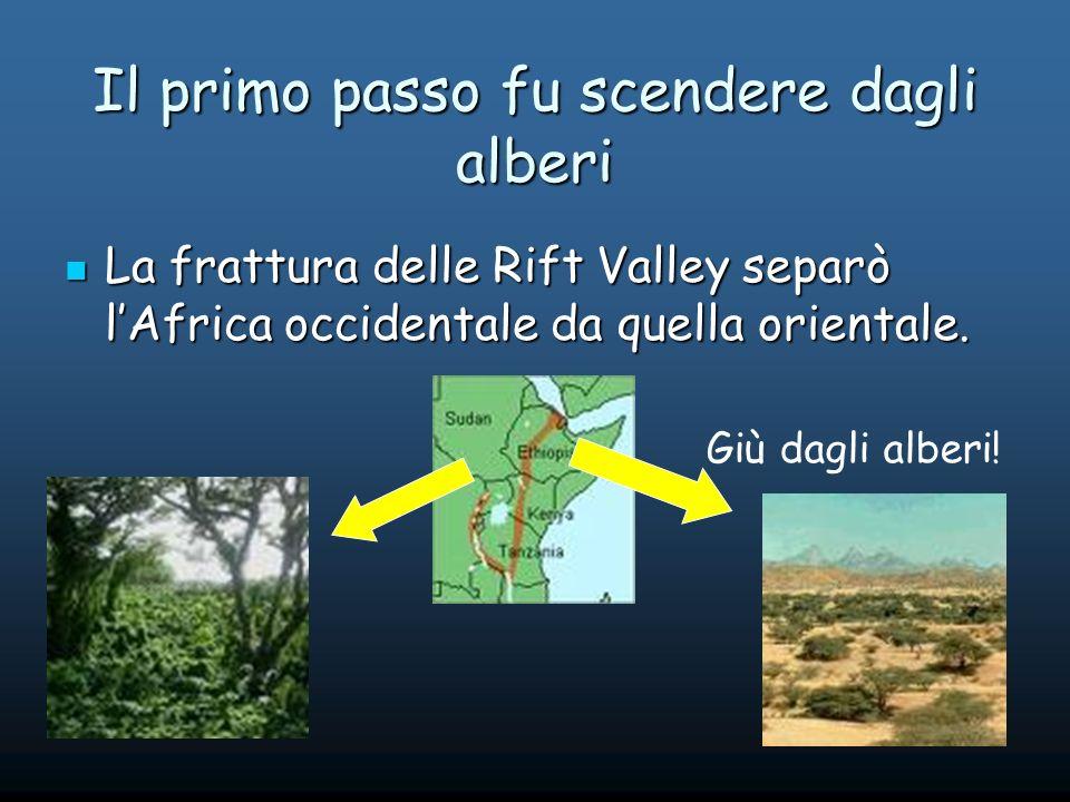 Il primo passo fu scendere dagli alberi La frattura delle Rift Valley separò lAfrica occidentale da quella orientale.