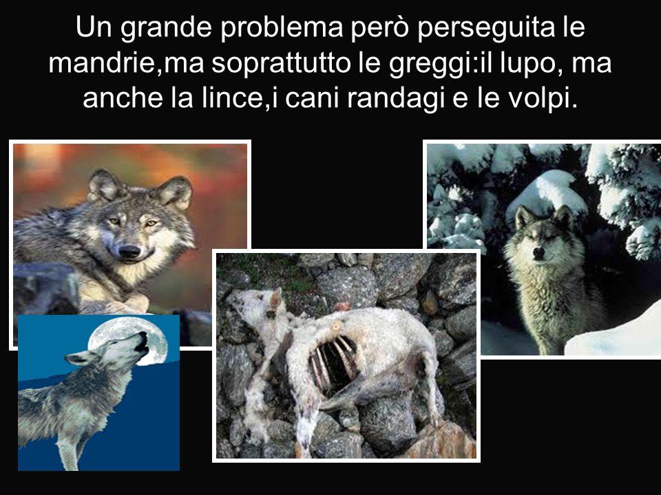 Un grande problema però perseguita le mandrie,ma soprattutto le greggi:il lupo, ma anche la lince,i cani randagi e le volpi.