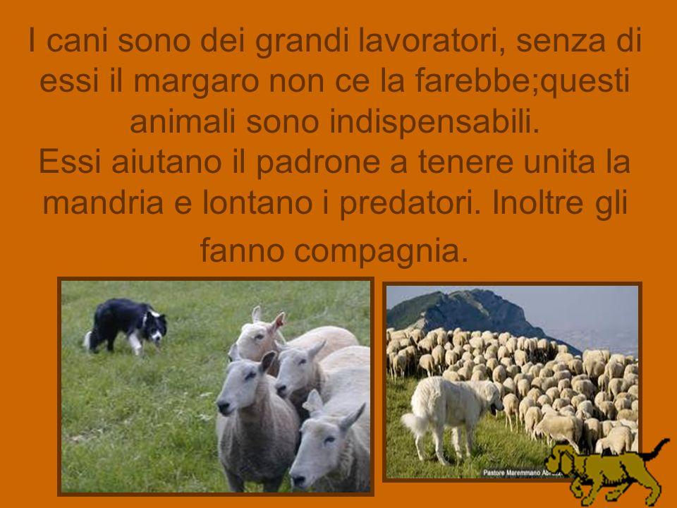I cani sono dei grandi lavoratori, senza di essi il margaro non ce la farebbe;questi animali sono indispensabili.