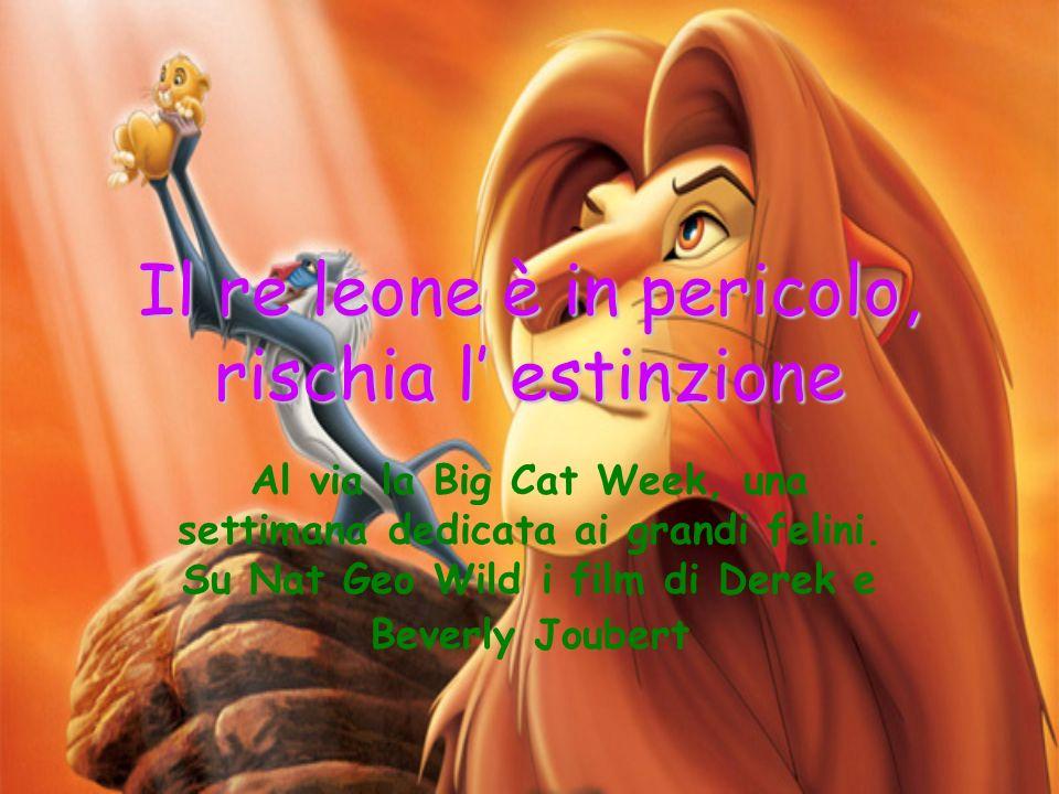 Il re leone è in pericolo, rischia l estinzione Al via la Big Cat Week, una settimana dedicata ai grandi felini. Su Nat Geo Wild i film di Derek e Bev