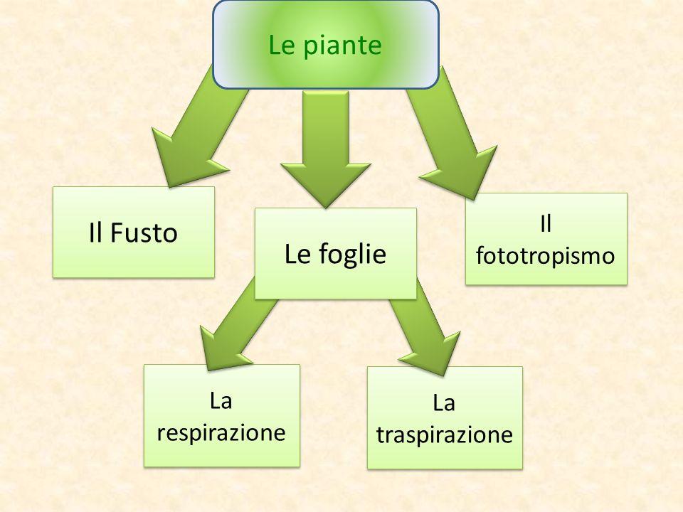 La traspirazione La respirazione Il Fusto Le foglie Il fototropismo Le piante