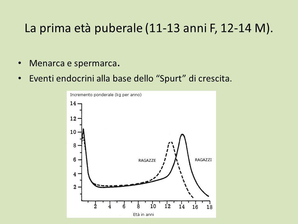 La prima età puberale (11-13 anni F, 12-14 M). Menarca e spermarca. Eventi endocrini alla base dello Spurt di crescita.