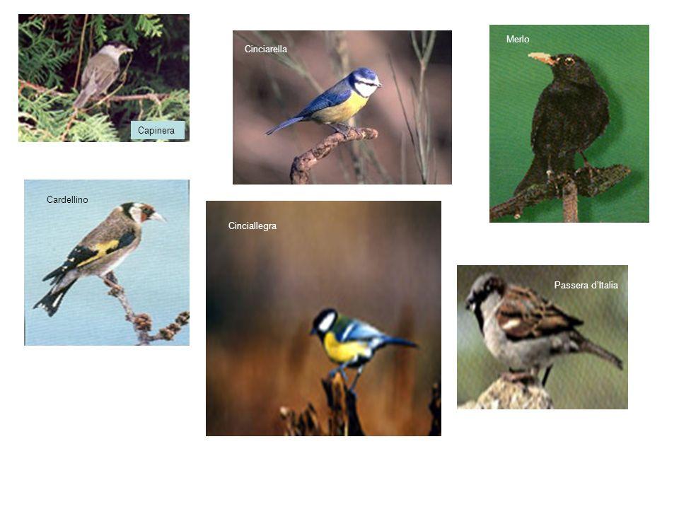 Inicazioni per il riconoscimento degli Uccelli I caratteri fondamentali utili per il riconoscimento sono : - dimensioni - colore del piumaggio - forma del corpo - tipo di involo - tipo di volo - comportamento - tracce e nidi - canto e verso - tipo di habitat - periodo dellanno