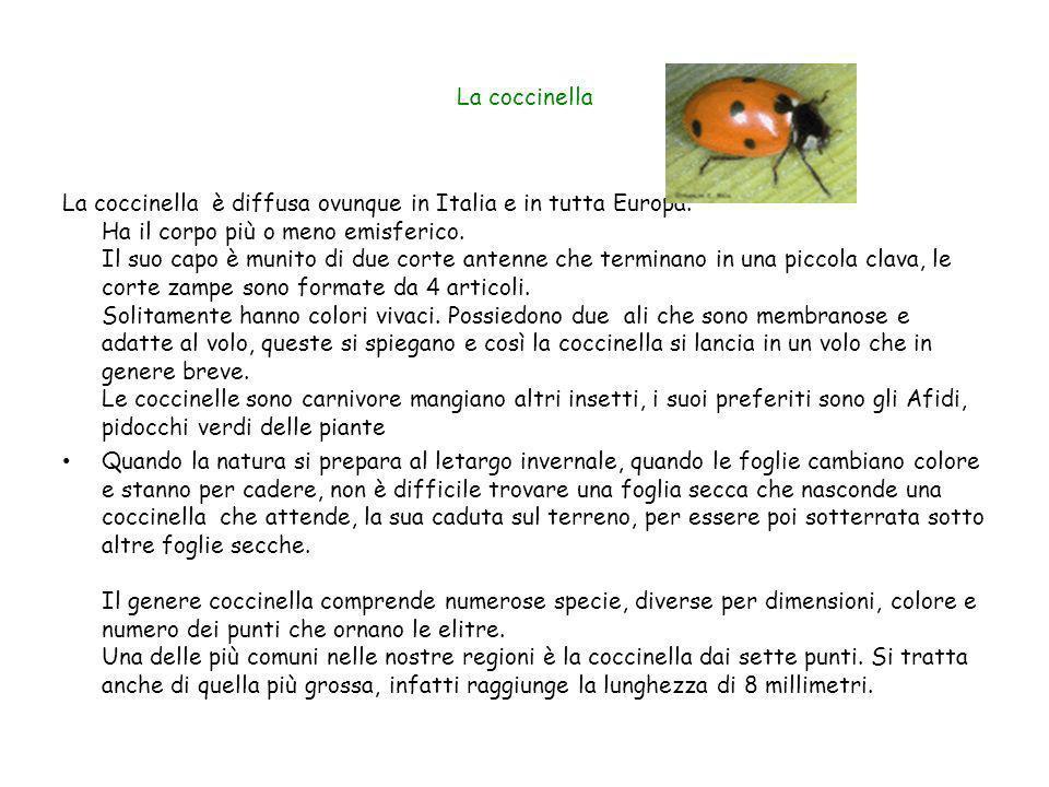 La coccinella La coccinella è diffusa ovunque in Italia e in tutta Europa. Ha il corpo più o meno emisferico. Il suo capo è munito di due corte antenn