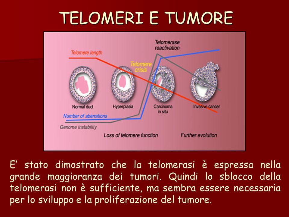 TELOMERI E TUMORE E stato dimostrato che la telomerasi è espressa nella grande maggioranza dei tumori. Quindi lo sblocco della telomerasi non è suffic