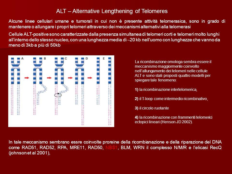 ALT – Alternative Lengthening of Telomeres Alcune linee cellulari umane e tumorali in cui non è presente attività telomerasica, sono in grado di mante