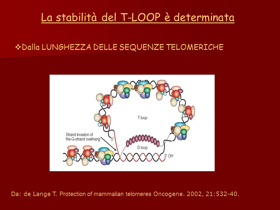 La stabilità del T-LOOP è determinata Dalla LUNGHEZZA DELLE SEQUENZE TELOMERICHE Da: de Lange T. Protection of mammalian telomeres Oncogene. 2002, 21: