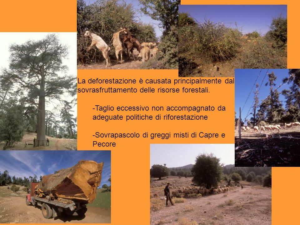 La deforestazione è causata principalmente dal sovrasfruttamento delle risorse forestali. -Taglio eccessivo non accompagnato da adeguate politiche di